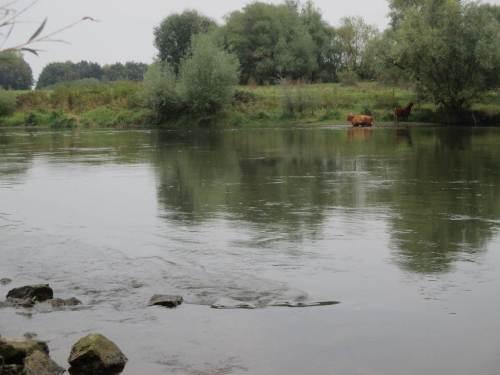 Nein, sie besuchen mich nicht, bleiben auf ihrer Seite. Weser-abwärts findet die eine leckere Weidenäste, die andere bevorzugt vom Land aus nicht zugängliche Ufervegetation.