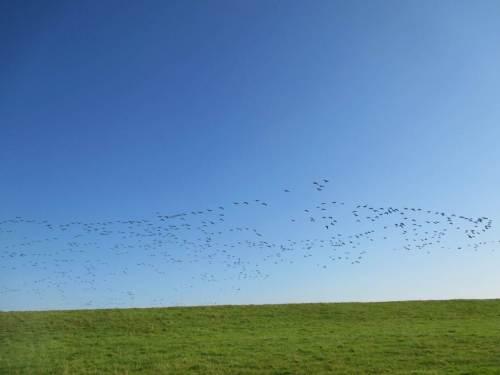 Es rumpelt und pumpelt bei blauem Himmel - daaaa sind sie wieder! Hunderte Nonnengänse queren von Norden den Deich, erreichen die Elbe.