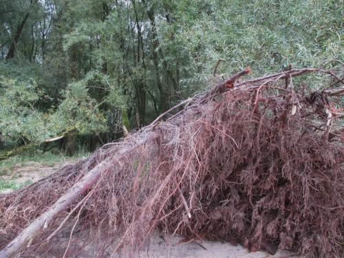 Dieser gestürzte Flachwurzler ist eine für dieses Baumspektrum charakteristische Weide.