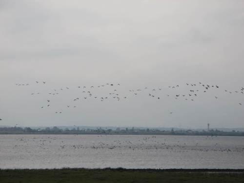 Tausende Gänse vor dem Deich, Süßwasserwatt nahe Tidehochwasserzeitpunkt, sind gerade von einem überfliegenden Hubschrauber aufgescheucht worden. - Nein, diesmal war es nicht der Seeadler.
