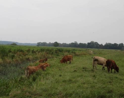 Wenn es dem Marschenvieh auf der Weidefläche zu karg wird, geht es halt in die Marschgräben.