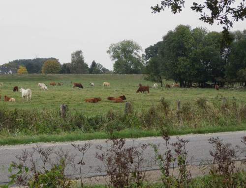 Buntes Weidevieh vor Auwaldrest und dem alten Deich.