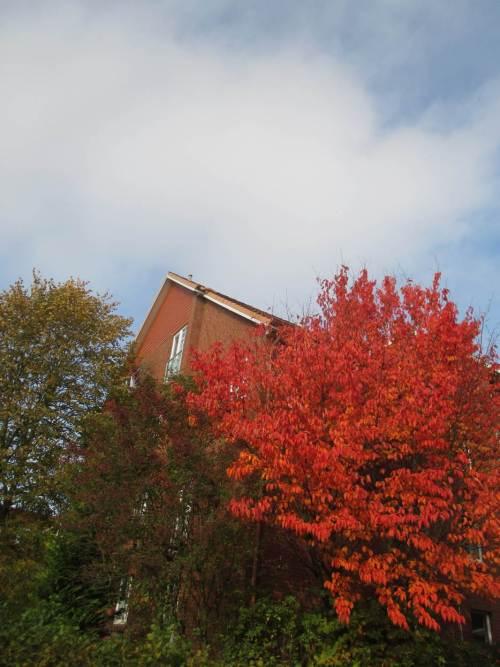 Kirsch-Rot - kühlere Nächte kürzlich brachten es hervor, der kalte Ostwind liess erste Blätter bereits herabsausen.