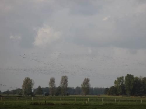 Völlig verbildet von dänischen Starentänzen denke ich mal wieder an Sort Sol - diese Vögel sind viel größer.