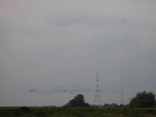 Tausende Nonnengänse - der eine Teil fliegt Richtung noch weitgehend frei liegendem Süßwasserwatt.