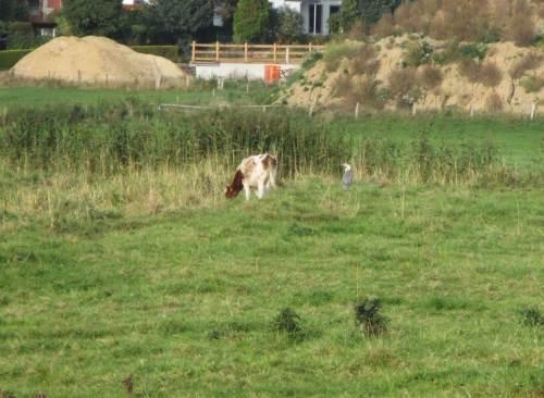 Am Rand der Marsch, vor der letzten Lückenschluss-Baustelle (die Armen dahinter - hin ist`s mit dem freien Blick) steht der obligatorische Graureiher. Ein Rind hat sich von der Herde abgesondert, hat hier wohl die beste Abendmahlzeit entdeckt.
