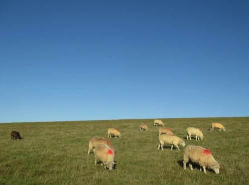 Damit Tourismusfotos nicht nur Grün und Blau (oder Grau) aufweisen, haben die Schafe dicke rote Punkte bekommen.