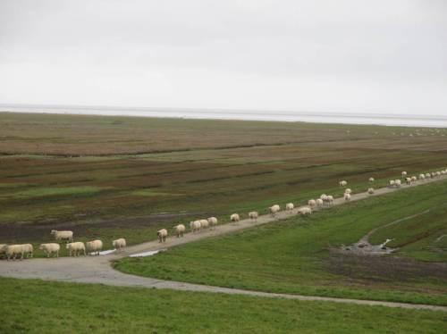 Auf dem Deich Westerhever angekommen - eine Schaf-Prozession marschiert auf uns zu.