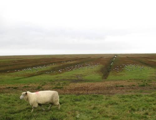 Nun aber hopp! Das letzte Schaf der Herde passiert vor Nonnengänsen.