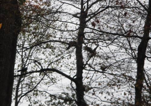 Auf dem Rückweg sehen wir noch drei Kolkraben, die einen großen Greif so hartnäckig ärgern, dass er aus den Auwaldbäumen abfliegt.