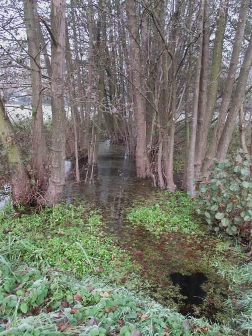 Vor dem Anstieg des Moränenhangs passiere ich einen Zufluss - schwimmender Auwaldsaum und wegen fehlender Störung lebendige Pflanzen kennzeichnen solch Lebensraum.
