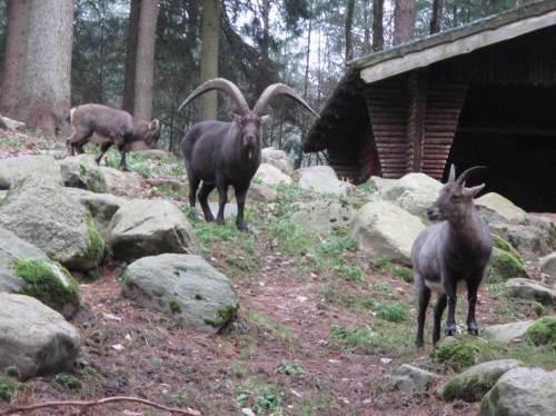 Auch die Steinbockfamilie ist gespannt.