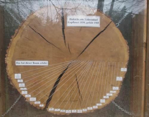 Zeitzeugin - Baumscheibe von 1850 gepflanzter Eiche.
