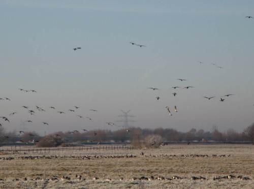 Aufgescheuchte Nonnengänse von anderswoher landen nahe bei.