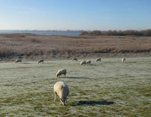Die Elbe - Schafe weiden auf dem bereiften Elbdeich.