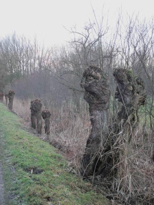 Gar schaurig ist`s, über`s Moor zu gehen - gilt hier bei Dämmerung auch für die Marsch. Der Erlkönig erscheint in Zwillingsgestalt, getarnt als Doppel-Kopfweide.