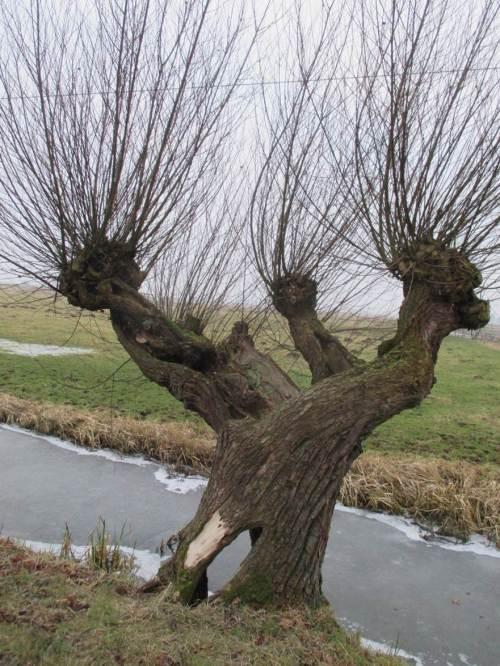 Über viele Nutzungsjahrzehnte entstanden Baum-Individuen, die uns in Vielgestalt, Ausformung und zeitlicher Entwicklung bis zum Vergehen stark beeindrucken können.
