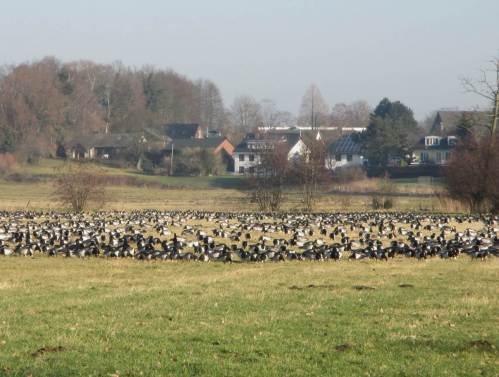 Irgendwas hörte ich die ganze Zeit schon, da sind sie: Tausende Nonnengänse auf einer Weide, mit dicht gedrängter äsender Front.