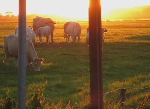 """Die Familienhaltung von Rindvieh in der Marsch kam bisher etwas kurz - hier also ein Ausschnitt, fotografiert """"in der Goldenen Stunde""""."""