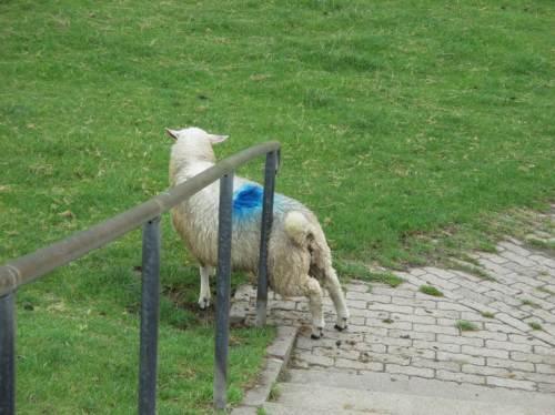Aaahh, auch Schafe sind Geniesser, suchen und finden.