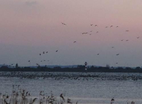 Die Elbe meinte ich aus Studienzeiten und jahrelanger Arbeit beim Strom- und Hafenbau zu kennen. Wie man sich irren kann - den Vogelzug mit Zehntausenden Exemplaren, hier Übernachtungsanflug der Nonnengänse, erlebe ich neu.