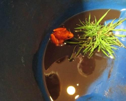 Auf Kurzbesuch zur Fotos-Session, sofort danach wieder in freier Wildbahn - ein ungewöhnlich roter Frosch aus moorig-eisenhaltigem Umfeld.
