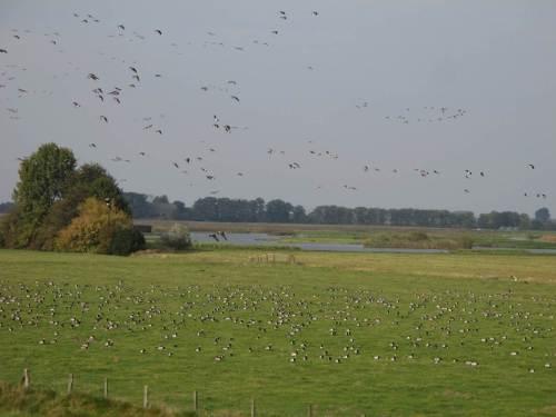 Auch die Nonnengänse fliegen zum Herbst ein.