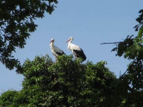 Herr und Frau Storch sind in ihr Nest zurückgekehrt. Leider hat es 2016 - warum auch immer - mit dem Nachwuchs nicht geklappt.