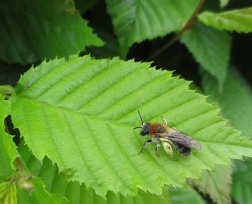 Eine Wildbiene pausiert. Uns scheint, recht häufig sind die hier nicht. Liegt das womöglich an den vielen Baumschulen im Umfeld?