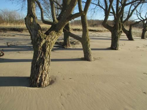 """So war es früher bei Landübernutzung, Wind- und Wassererosion öfter: im Sand """"ertrinkende"""" Bäume."""