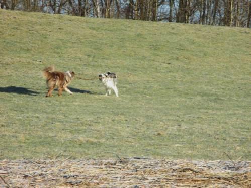 Begeisterung am Deich - so ein langer Ast kann Hunde gut beschäftigen.