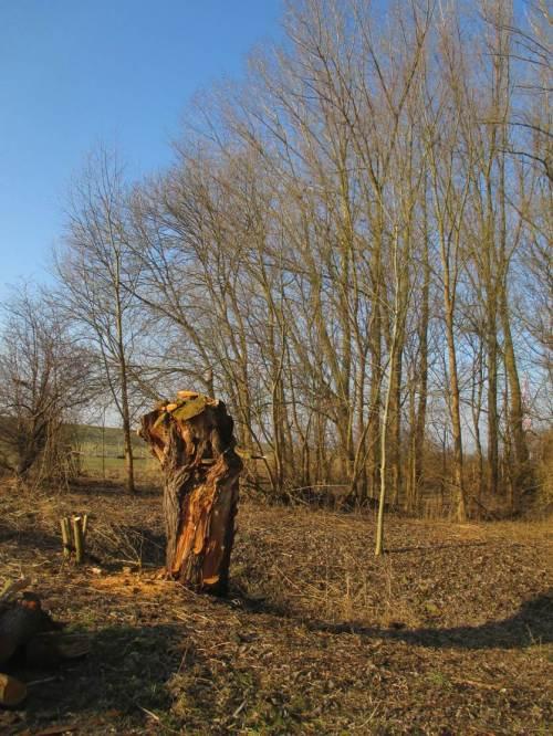 Kurz vor dem Elbehauptdeich - eine uralte Kopfweide vor Auenwaldrest.