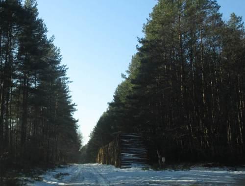 Neben lichtem Laubwald durchfahren wir auf eisiger Piste auch Nadelforsten. Das eingeschlagene Holz zeigt, dass die Umwandlung in Mischwald in vollem Gang ist.