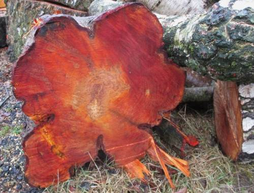 Wenn die Schwarz- zur Rott-Erle wird - nicht immer gibt es Anlass, Baumschnitt zu kritisieren. Hier sind im Kern keine Jahresringe mehr erkennbar, sieht fast wie gerade noch gehaltenes Sägemehl aus.
