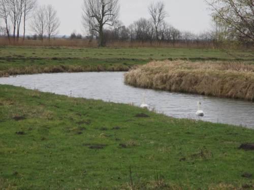Schwanenpaar auf Marschgraben - die Vögel sind zunehmend zu zweit zu sehen.