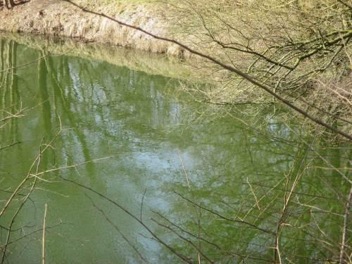 """""""Unordentlich"""" viele Nährstoffe haben allzu viele Stillgewässer. Blaugrüne Färbung schon Anfang März lässt keine gute Gewässersituation erkennen."""