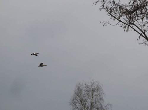 IMG_2226 - ein Paar Nilgänse zieht beim Klw Hetlingen vorbei