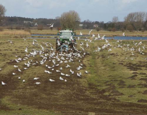 IMG_2370 - Frühjahrs-Eggen, Möwen profitieren gleich hinterm Trecker - Maulwurfshaufen platt