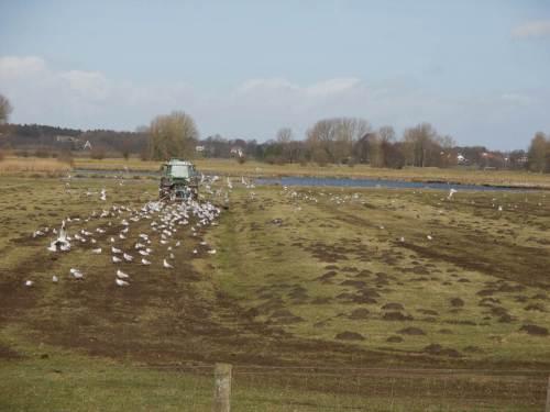 IMG_2372 - Frühjahrs-Eggen, Möwen profitieren gleich hinterm Trecker - Maulwurfshaufen platt